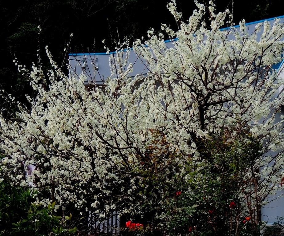 スモモの花 満開でした