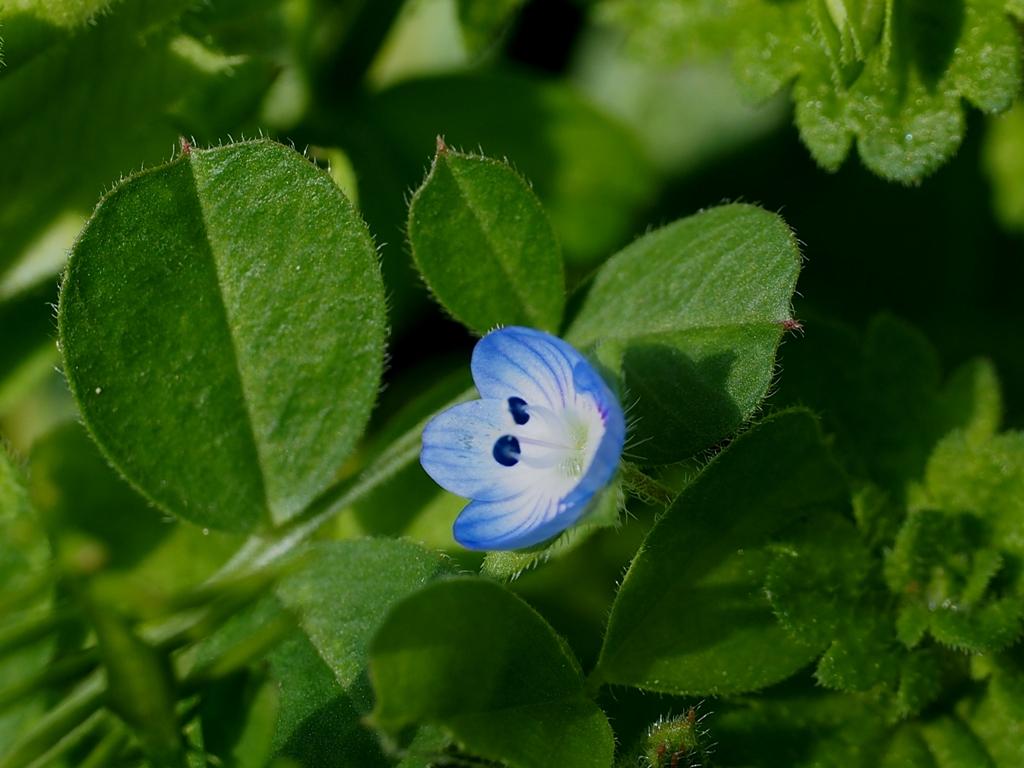 野の花 イヌフグリ