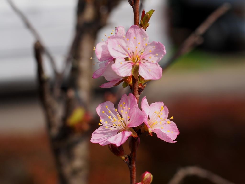 にわうめの花