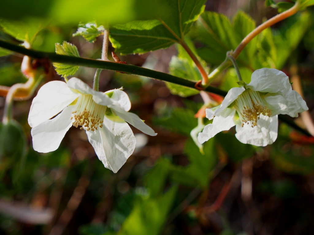 木いちごの花 2