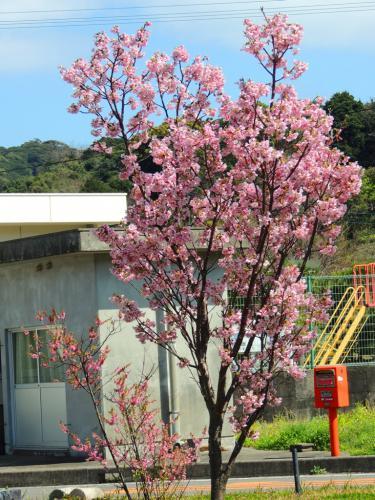 さくらちゃんの桜