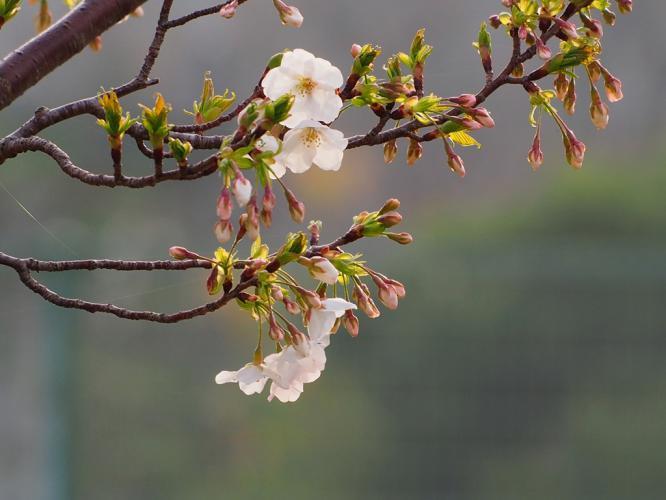 そめいよしの桜