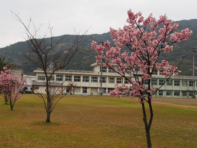 中学校に咲く陽光桜