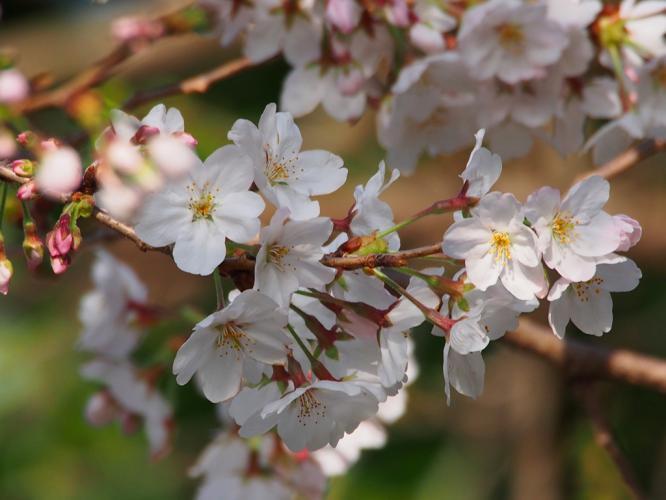 桜 咲く  5