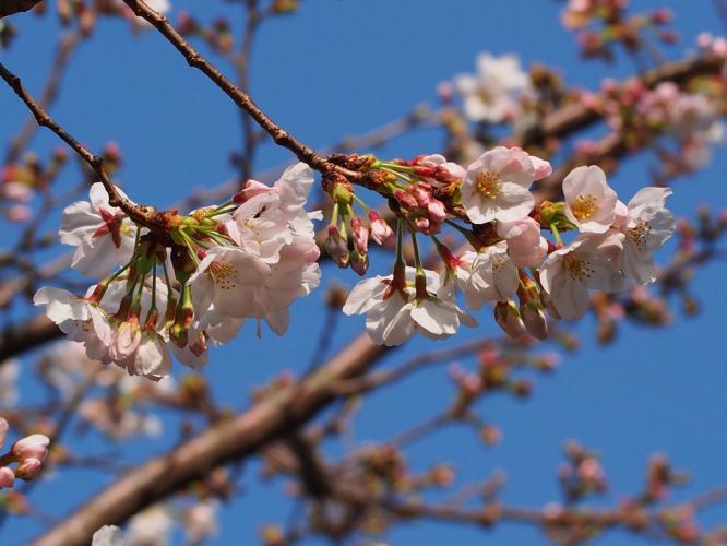 桜 咲く 4
