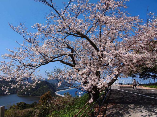 長目の浜展望所の桜
