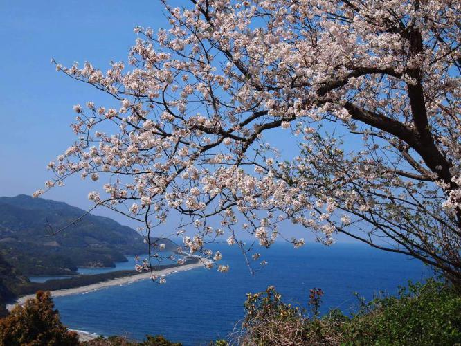 桜 長目の浜