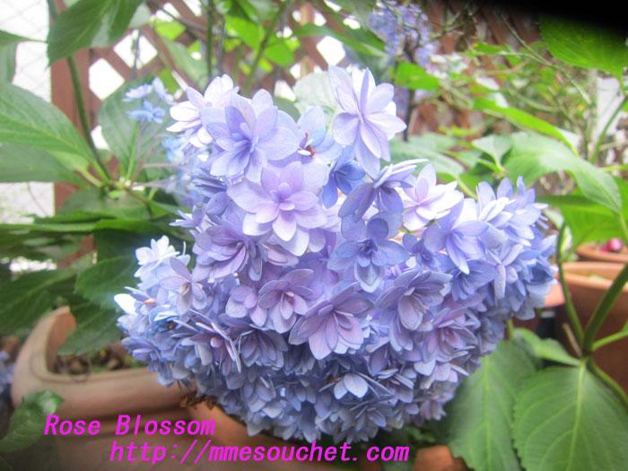 ajisai20120712.jpg