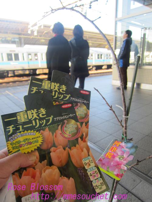 bulbsakura20121216.jpg