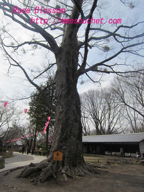 keyaki20120415.jpg