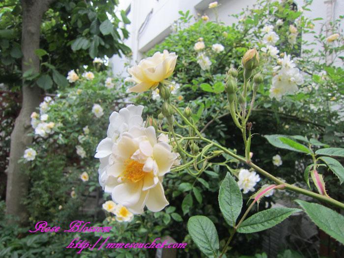 muratarose20120522.jpg