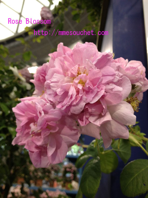 rosa20120513.jpg