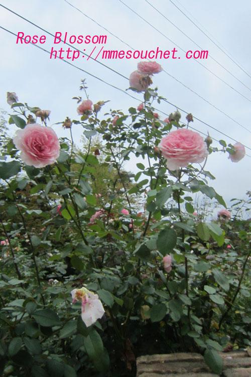 rose201109191.jpg