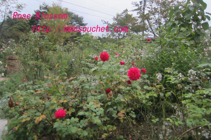 rose201109192.jpg