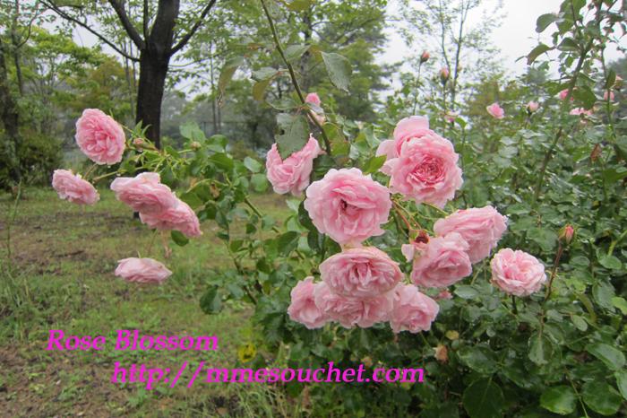 rose201109201.jpg