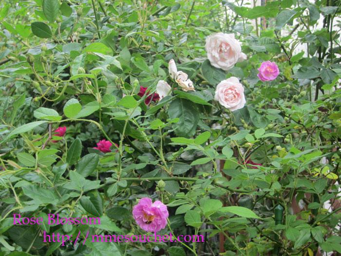 roseall20120517.jpg