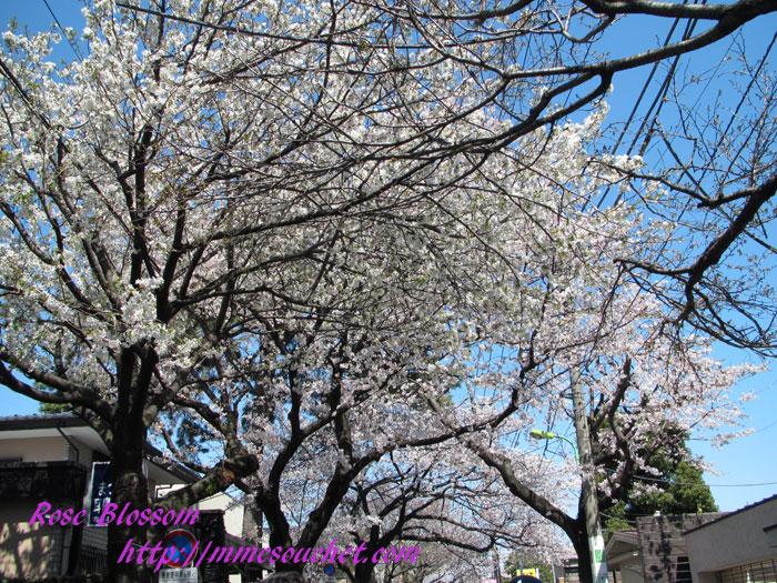 sakura201204071.jpg