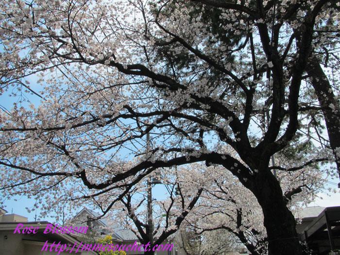 sakura201204073.jpg
