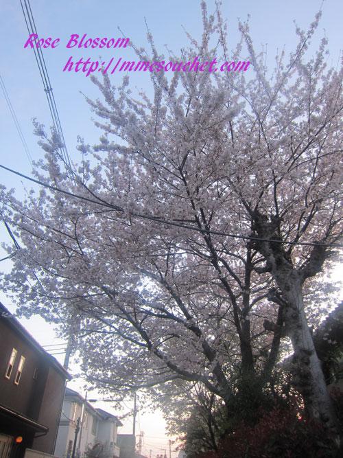 sakura201204121.jpg