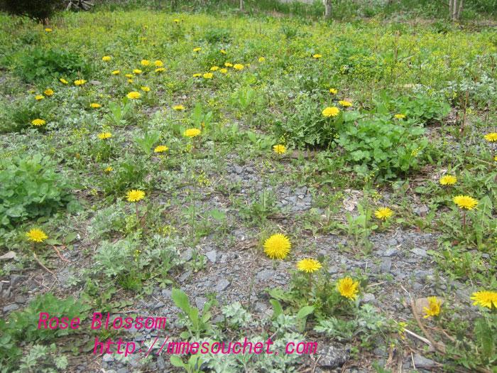 tanpopo20120502.jpg