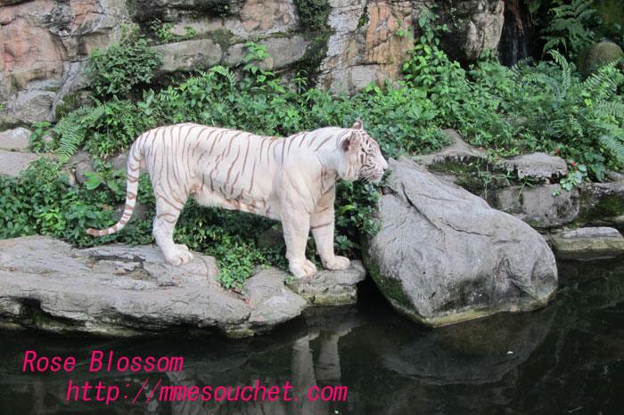 tiger20110928.jpg