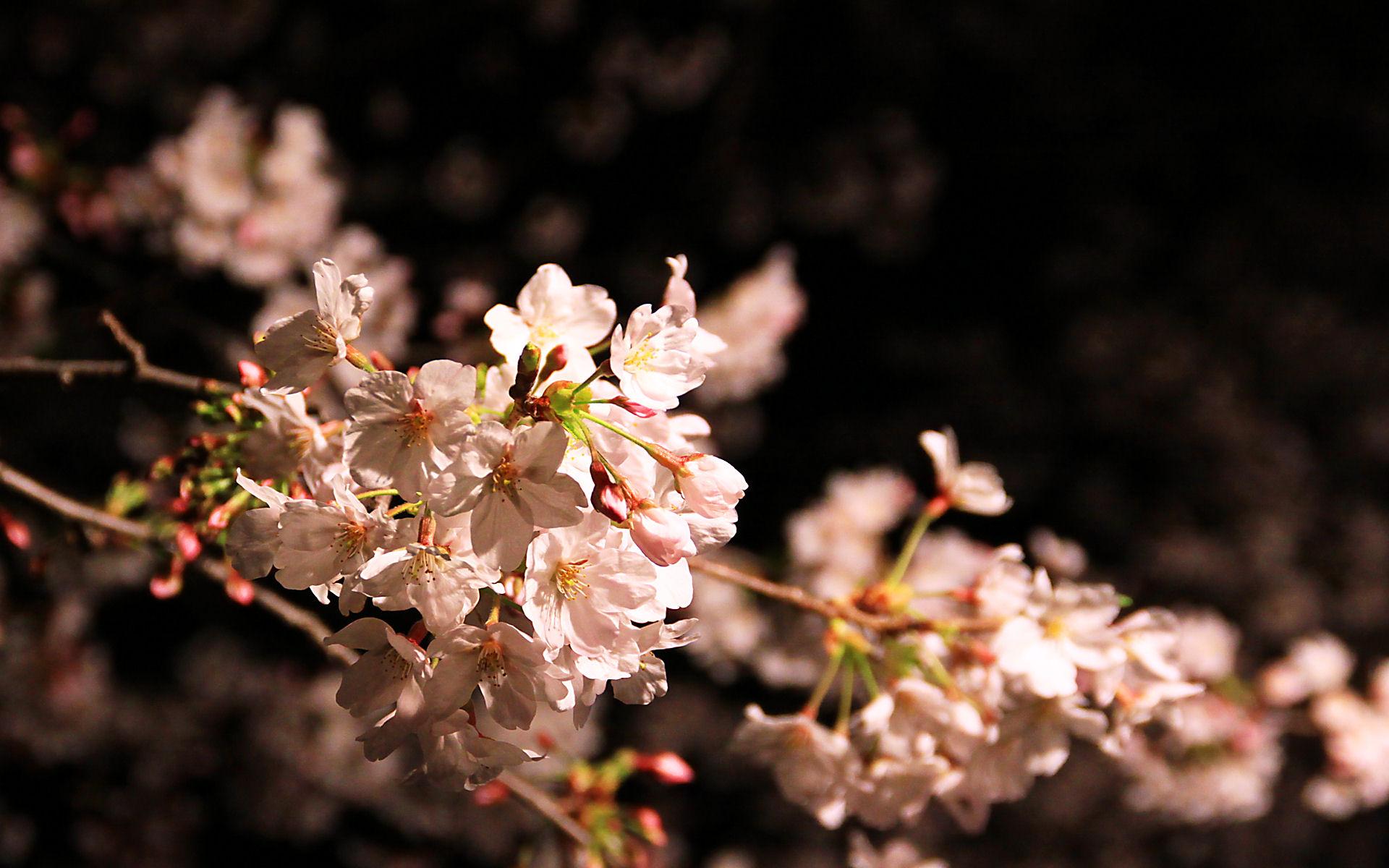 王子動物園の夜桜通り抜け・夜桜の壁紙