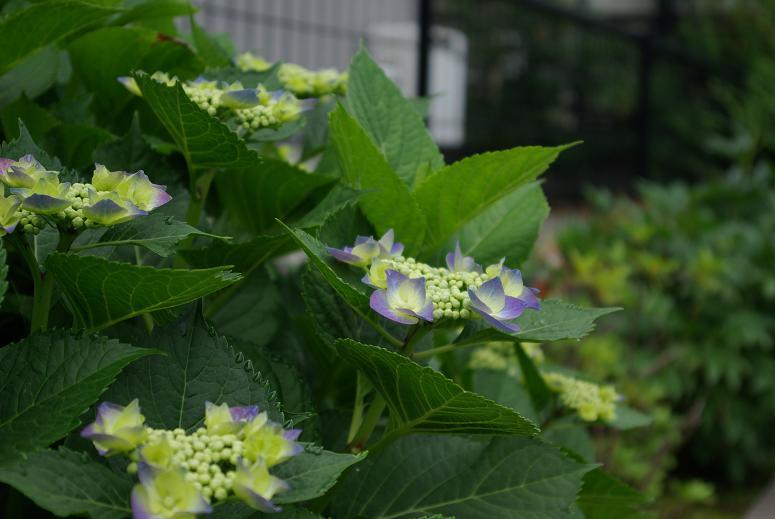 0612 紫陽花