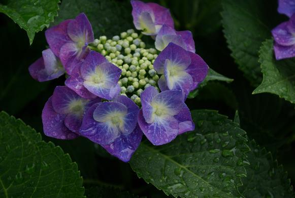 0616紫陽花2