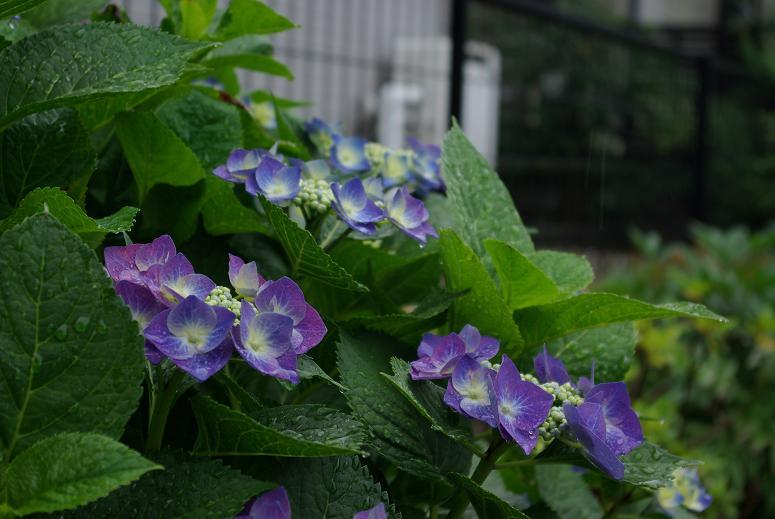 0616紫陽花