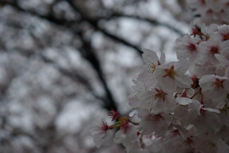 2011sakura03.jpg
