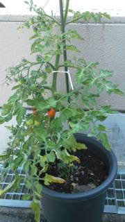 トマト11