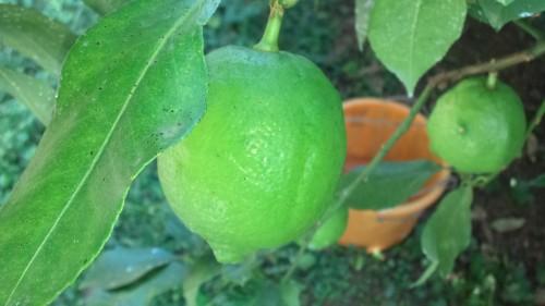 lemonsyukaku2.jpg