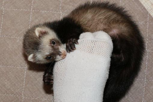 足を噛んで甘えるミッキー君