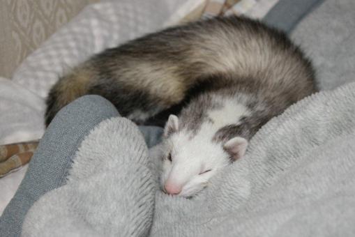 布団の上で眠るマルちゃんのアップ