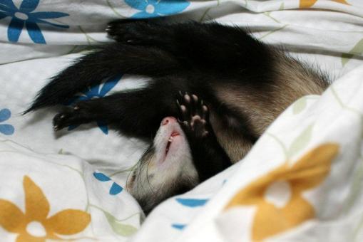 布団の中で寝んねのミッキー君1