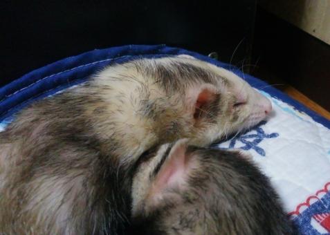 ミッキーの上で眠るマルコ