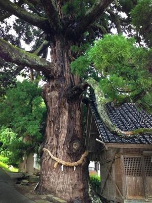 愛宕神社の杉