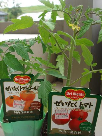 2011 4.30ぜいたくトマト