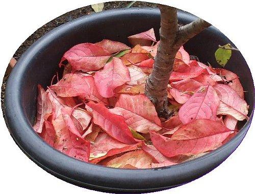鉢植と落ち葉の紅葉2