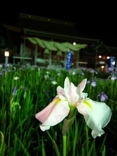 宮地岳神社 菖蒲