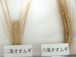 雑穀大麦2種