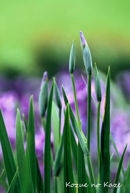 初夏の花7