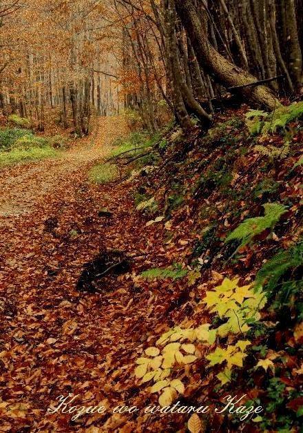 ブナ林の秋3