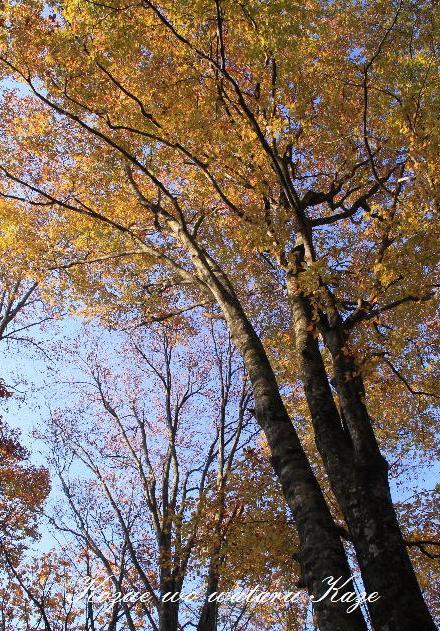 ブナ林の秋2