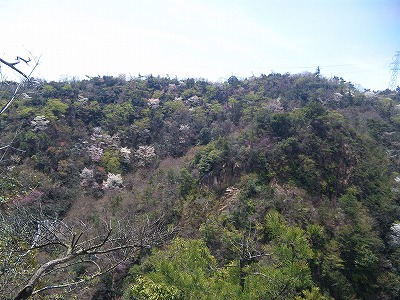 六甲山は桜が多いのです