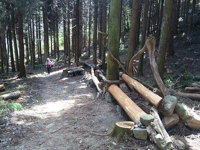 岡本近くは杉の人工林です