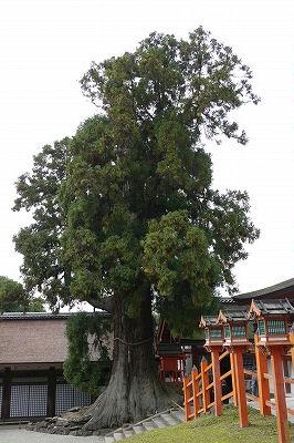 春日神社の大杉