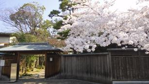 ぱんぱんのぽんぽんの桜