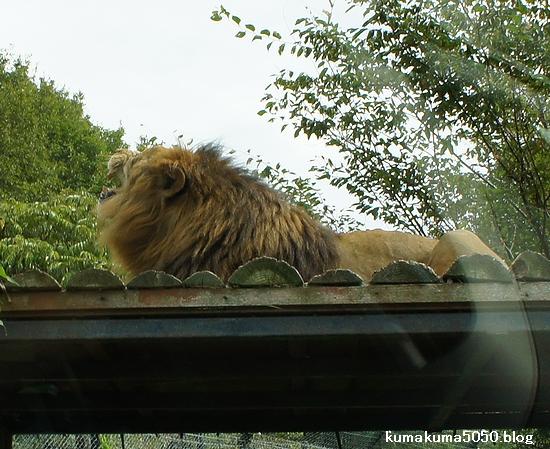 ライオン_319