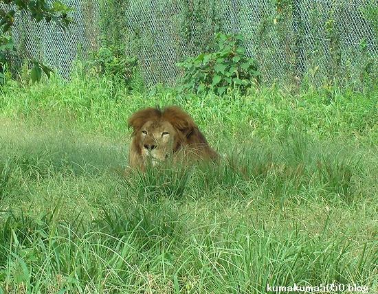 ライオン_318